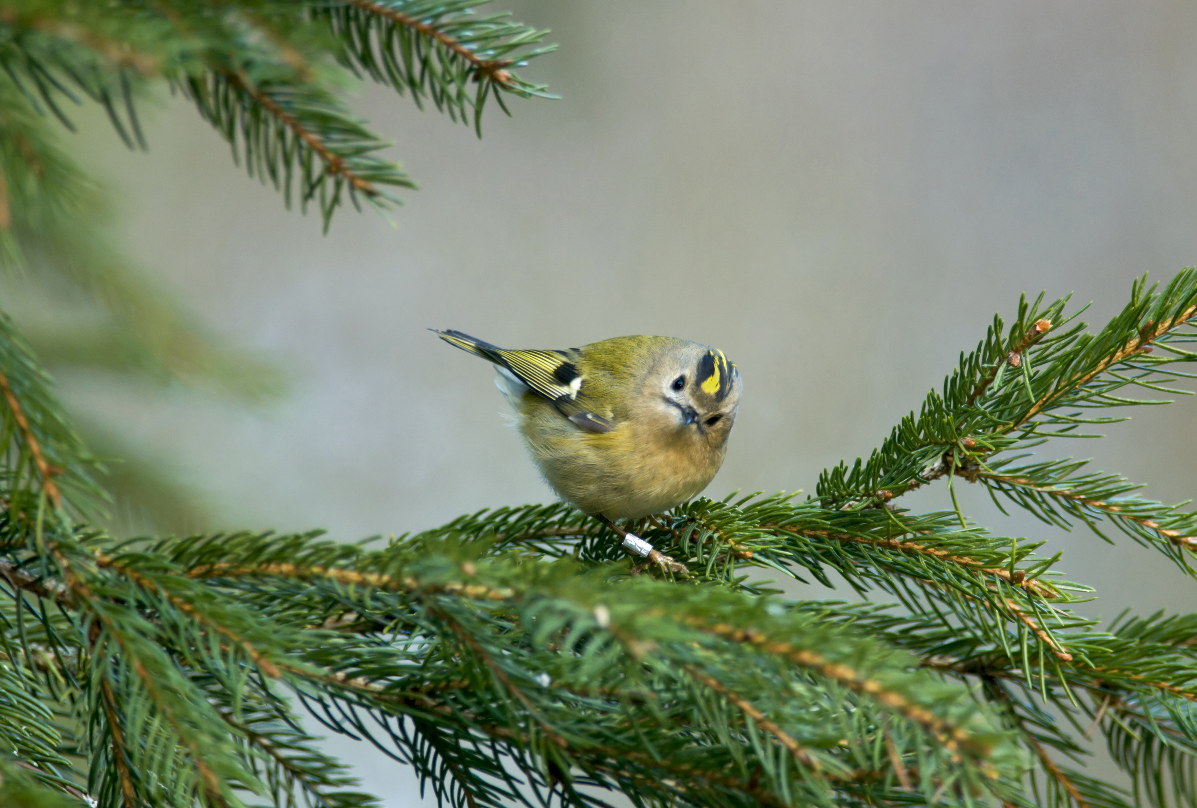 Goldcrest Regulus regulus, warily looking around from within a spruce tree, Co. Durham, March