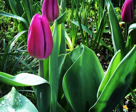 Tulip Images:Clair Bryne