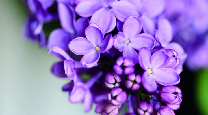 Lilacs - Image:Shutterstock.com